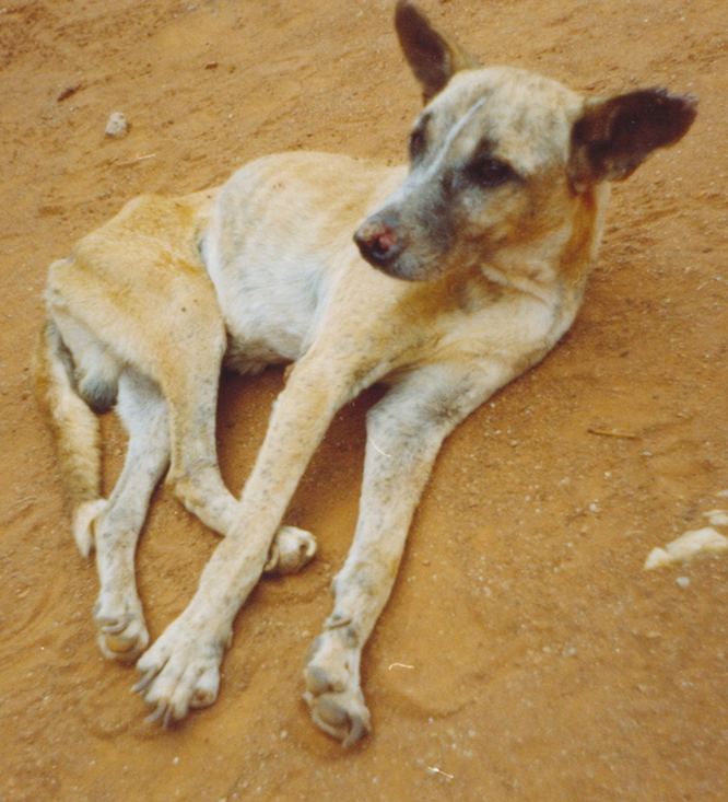 Canine Viscerale Leishmaniose